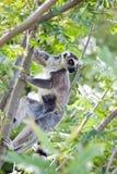 Lemur av Madagascar Fotografering för Bildbyråer