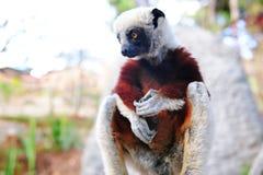 Lemur av Madagascar Arkivfoton