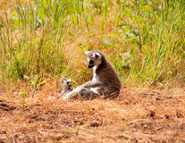 Lemur with baby Stock Photography