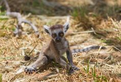Lemur baby Stock Photo