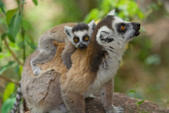 Lemur with baby. Ringtail Lemur mother with baby Stock Image