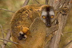 Lemur baby. Wild Red Fronted Brown Lemur in Madagascar Stock Photography