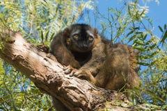 Lemur. Royalty Free Stock Photography