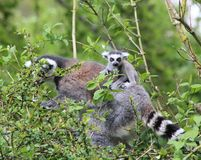A lemur and baby. A mummy lemur and baby Royalty Free Stock Image