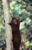 Lemur, Bamboo (Gen; Hapalemur) Royalty Free Stock Image