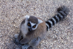 Lemur beggar, Ring-tailed Lemur Stock Photography