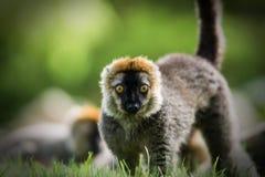 Lemur bierze spojrzenie przy tobą Fotografia Stock