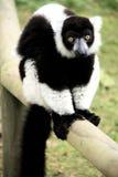 Lemur blanc noir ruffed Image libre de droits