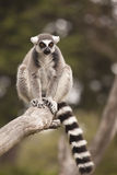 Lemur Branch. A ring-tailed lemur on a tree branch Stock Photography