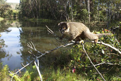 Lemur on the branch. In forest of Madagascar, with river in background stock photo