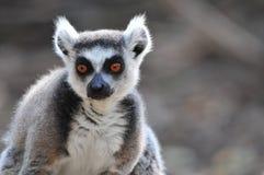 Lemur bright orange eyes Royalty Free Stock Images