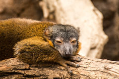 Lemur at Bronx Zoo. 2014 Winter royalty free stock photo