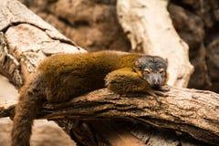 Lemur at Bronx Zoo. 2014 Winter Royalty Free Stock Images