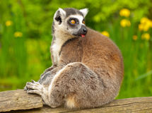 Lemur 2 Stock Photography