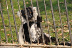 Lemur in the cage Royalty Free Stock Photos