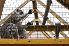 A lemur in a cage in a zoo. Lemur sits sad at the zoo behind the cage Royalty Free Stock Photography
