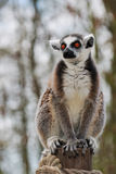 Lemur in captivity Stock Photo