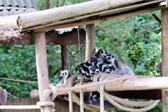 Lemur in captivity Stock Photos