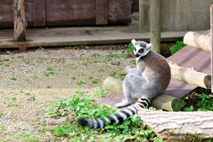 Lemur in captivity Stock Photography