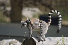 Lemur carrying baby Royalty Free Stock Photos
