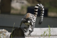 Lemur carrying baby Stock Image