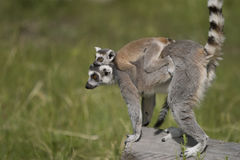 Lemur carrying baby Stock Images