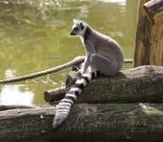 Lemur cat's primacy Madagascar zoo tail Stock Photo