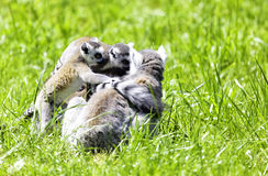 Lemur cata Stock Photo