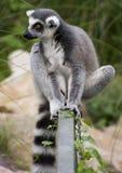 lemur catta Стоковые Фотографии RF