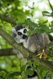 Lemur catta. Rrelaxing lemurin the branches of the tee Royalty Free Stock Image