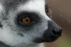 A lemur catta Stock Photography