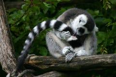 Lemur catta Stockfotos