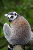 Lemur catta Royalty Free Stock Images