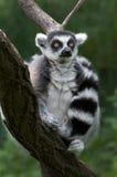 lemur catta Стоковая Фотография