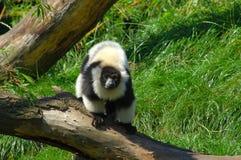 Lemur catta. Stock Photos