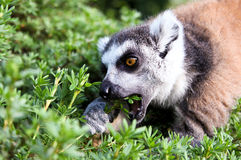 Lemur catta Royalty Free Stock Image