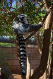 Lemur catta Lizenzfreies Stockfoto