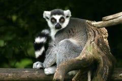 Lemur catta. Ring-tailed lemur Stock Images