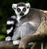 Lemur catta. Ring-tailed lemur sitting on a tree stock photography