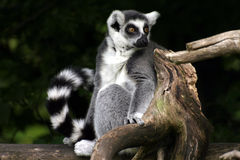 Lemur catta. Ring-tailed lemur sitting on a tree royalty free stock images