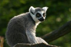 Lemur catta Lizenzfreie Stockfotos