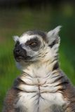 Lemur Catta. (Ring-tailed lemur Royalty Free Stock Images