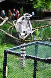 Lemur catta Stock Images