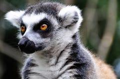 Lemur catta. Close detail of Lemur catta Stock Images