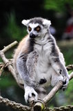 Lemur catta. Close detail of Lemur catta Stock Photography