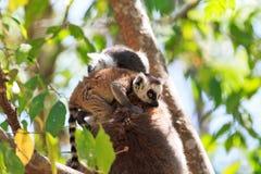Lemur catta Anja Royalty Free Stock Photography