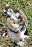 Lemur catta and baby Royalty Free Stock Images