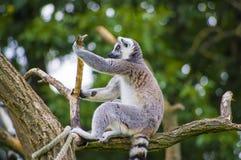 Lemur catta Stock Photography