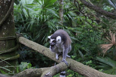 Lemur catta. Branch of a tree in the park the ring-tailed lemur quietly enjoying the food in his hand Stock Photo