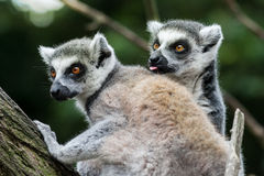 Lemur Catta Couple one with Lick Tongue. On Branch royalty free stock photography